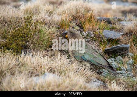 Kea, Südinsel, Neuseeland - Stockfoto