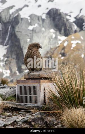 Neugierig Kea, Südinsel, Neuseeland - Stockfoto
