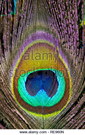 Pfauenfeder vergrößert dargestellt - Stockfoto
