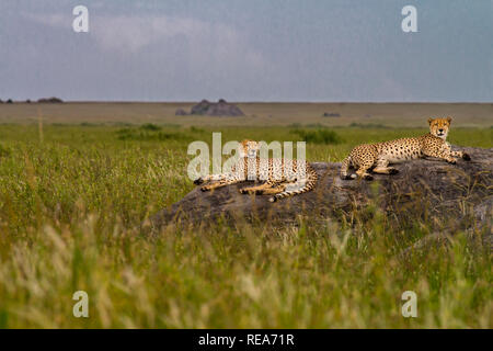 Gepard auf KOPJE (Rock outcropping), Serengeti National Park, Tansania. - Stockfoto