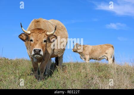 Französische Aubrac Kühe mit Glocke, in einem Feld. Ländliche Szene. Aveyron, Auvergne, Frankreich - Stockfoto