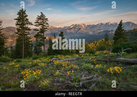 Lupine und Balsamwurzel mit Stuart Range Mountains im Hintergrund; Tronsen Höhenweg über Blewett Pass, Washington. - Stockfoto