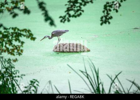 Schwechow, Deutschland. 09 Sep, 2017. Ein Graureiher lauert auf einer kleinen Insel. Credit: Jens Büttner/dpa-Zentralbild/ZB/dpa/Alamy leben Nachrichten - Stockfoto