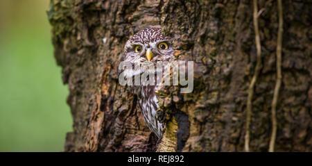 Porträt einer unverlierbaren kleine Eule Blick aus seinem Versteck in einem Wald Baum Bohrung - Stockfoto