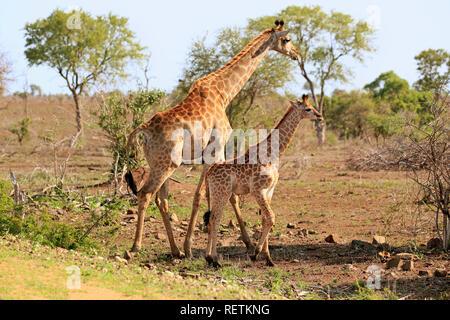 Kap Giraffe, erwachsenes Weibchen mit Jungen, Krüger Nationalpark, Südafrika, Afrika, (Giraffa Camelopardalis giraffa) - Stockfoto