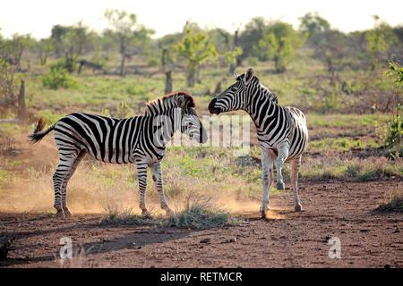 Ebenen Zebras, Hengste, Krüger Nationalpark, Südafrika, Afrika, (Equus quagga burchelli) - Stockfoto