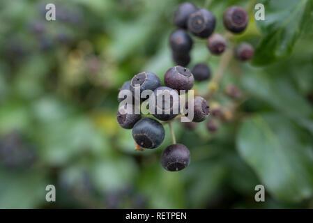 Frucht der gemeinsamen Efeu, Baden-Wuerttemberg, Deutschland, (Hedera helix) Stockfoto