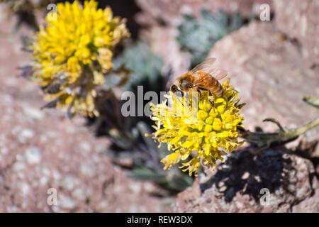 Honey Bee Bestäuben der Mt. Lassen cardamine (Cardamine aureola) Wildblumen, die Blüte unter den Felsen auf der hohen Elevation Trails des Lassen Volcanic Nation - Stockfoto