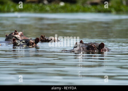 Eine Gruppe oder Pod des Ostafrikanischen Flusspferd (Hippopotamus amphibius) oder nilpferde teilweise eingetaucht in Wasser, Lake Naivasha, Kenia - Stockfoto