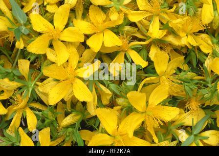 Johanniskraut (Hypericum perforatum), Heilpflanze, Kräuter - Stockfoto