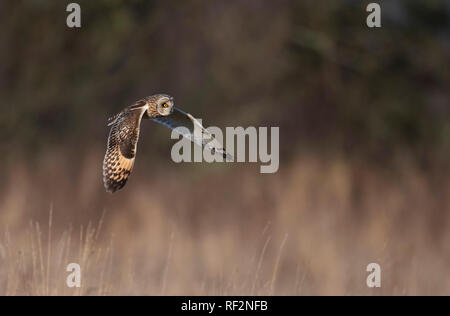Short-eared Eule Asio Flammeus Jagd. Winter. UK - Stockfoto