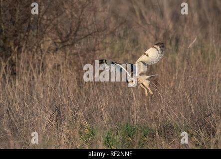 Short-eared Eule Asio Flammeus Jagd. Winter. UK - Stockfoto