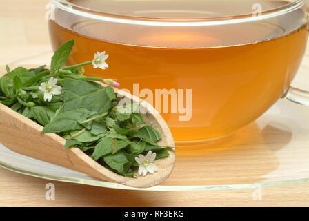 Weidenröschen (Epilobium parviflorum) Tee, Kräutertee - Stockfoto