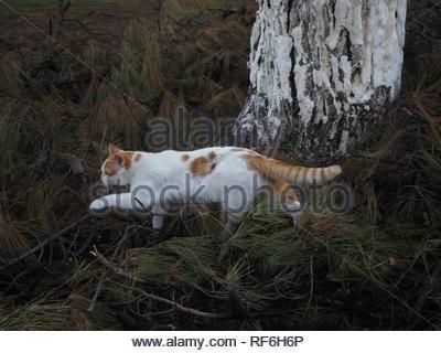 Orangen und weißen Farben streunende Katze mit sichtbarer Wunde verletzt vor dem hinteren linken Bein zu Fuß auf piniennadeln - Stockfoto