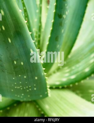 Aloe Vera Pflanze. Nahaufnahme von gezackte Blätter am Arboretum Volcji Potok, Kamnik, Gorenjska, Slowenien Stockfoto