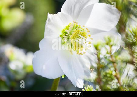 Nahaufnahme von schöne Christrose (Helleborus niger) weiße Blume im Winter Garten während der sonnigen Tag - Stockfoto