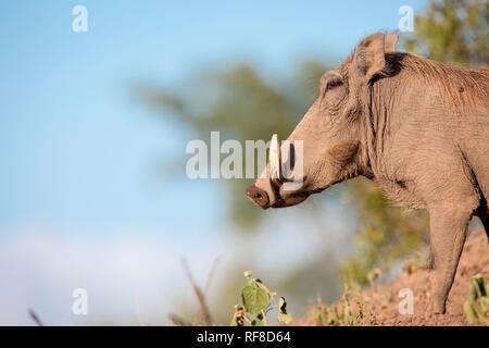 Eine Seitenansicht zeigt ein warzenschwein, Phacochoerus Africanus, stehend auf Boden, weiße Stoßzähne, gegen den blauen Himmel. - Stockfoto