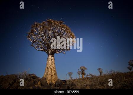 Köcherbaumwald ist eine touristische Attraktion in der Nähe von Keetmanschoop, Namibia, wo hunderte von gefährdeten Köcherbäume, Aloidendron dichotoma, Wachsen - Stockfoto