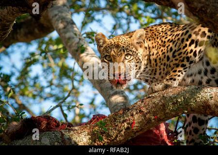 Ein leopard Panthera Pardus, steht in einem Baum über einen Kadaver, Alert, Blut auf Nase und Schnauze, Ohren, - Stockfoto