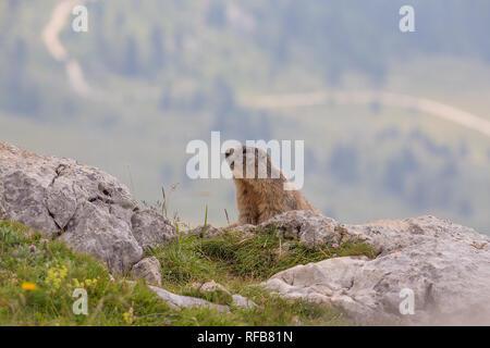 Alpine Murmeltier (Marmota marmota) sitzen auf dem Rock - Stockfoto
