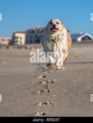 Blond Border Collie Mix auf die Kamera zu, die auf einem Sandstrand mit einem strahlend blauen Himmel - Stockfoto