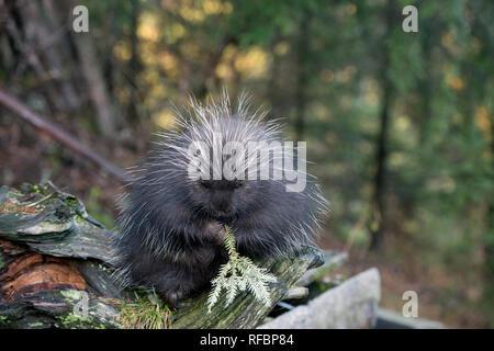 Captive porcupine Essen einer Tanne in der Nähe von haines Alaska - Stockfoto