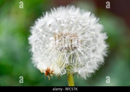 Weiß Löwenzahn Samen Kopf mit einer Spinne - Stockfoto