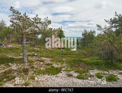 Sommer Wald Blick auf Rukatunturi, fiel und ein Skigebiet in Kuusamo - Finnland. Friedliche immergrüner Baum im idyllischen und grünen Natur Landschaft von - Stockfoto