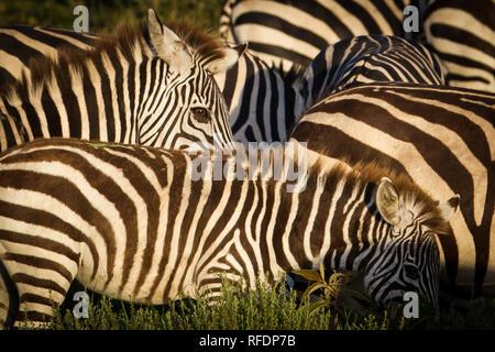 Kurzes Gras Ebenen der Serengeti National Park, der ndutu Region und Ngorongoro Crater Conservation Area, Tansania zeichnen die große Wanderung. - Stockfoto