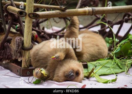 Eine Nahaufnahme eines adorable Baby sloth Schlafen in einem Bambus den konzipiert als Steighilfe für die Entwicklung Faultiere. Jaguar Rescue Center, Costa Rica - Stockfoto