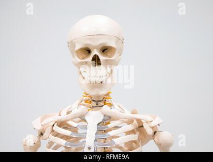 Dekorative menschliches Skelett Modell und Schädel auf dem Display im Krankenhaus für das Studium - Stockfoto