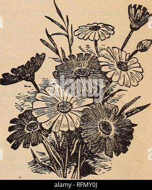 """. I.N. Kramer &Amp; Sohn, seedsmen und Floristen. Baumschulen Iowa Cedar Rapids Kataloge; Gemüse; Blumen Samen Samen Kataloge Kataloge; Gartengeräte und Zubehör Kataloge. BBAOHYCOME """"Snowball Daisy. """"Baloon Rebe (siehe Kletterer.) BARTONIA. Aurea - eine hübsche, blühende Pflanze, mit Downy, Distel - wie Laub. Blumen ein Schönes Goldgelb. Höhe, 2% Füße. H. A. I. Pkt. 5c. BOCCONIA JAPONICA - Das stattliche Gewohnheit dieser Pflanze ren-ders es am effektivsten für Rasen Dekorationen. Das Laub ist groß und fein geschnitten, und für Situationen, in denen einzelne Muster Pflanzen erwünscht sind, - Stockfoto"""