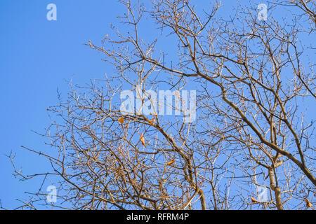 Kahlen Ästen im Frühjahr vor blauem Himmel. - Stockfoto