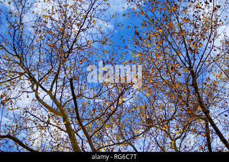 Ein Gewirr von fast nackten Äste im Herbst mit wenigen hängen lässt. - Stockfoto