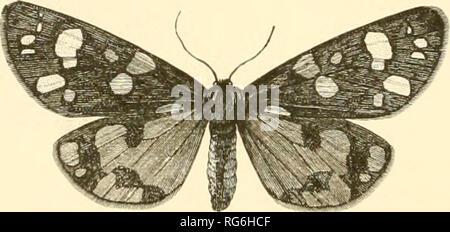 . Schmetterlinge und Motten (Britisch). Schmetterlinge; Insekten - Großbritannien. 220, GEMEINSAME BRITISCHE MOTTEN August) Es herab tlie groimd zu, und es wird zu einem sniooth und strahlenden rötlich-braunen chrysahs. Die Motte erscheint im Juni oder Anfang Juli. Die scharlachrote Tiger {Callimorpha Dominidn) Dies ist sicherlich eine der schönsten aller unserer Motten. Die Vorderflügel sind Dax'k Olivgrün, mit einem schönen metallischen Glanz, und kühn mit großen weißen und gelben Punkten markiert. Diese sjDots sind in der Regel wie in der Abbildung angeordnet, sondern unterliegen großen Schwankungen. Die Hinterflügel sind Crimson - Stockfoto