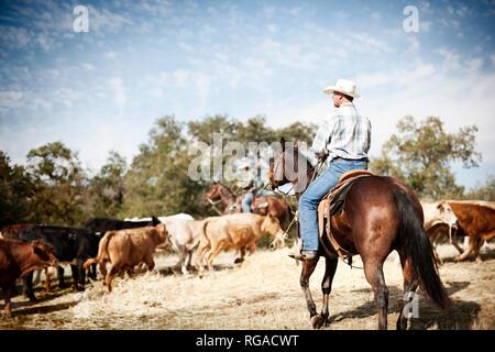 Zwei Männer tragen Cowboyhüte und Reitpferde, Runden eine Herde von Rindern. - Stockfoto