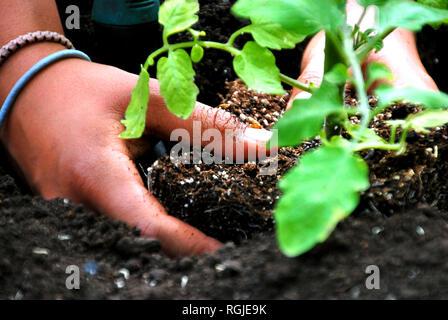 Nahaufnahme von einem dunklen Haut hand mit zwei Armbänder das Einpflanzen einer jungen grünen Tomate Pflanze im Garten, Quebec, Kanada - Stockfoto