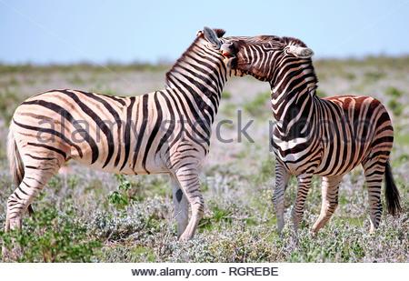 Ebenen Zebras, Etosha National Park, Namibia, (Equus quagga) - Stockfoto
