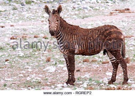 Mountain Zebra, Etosha NP, Namibia, (Equus zebra hartmannae) - Stockfoto