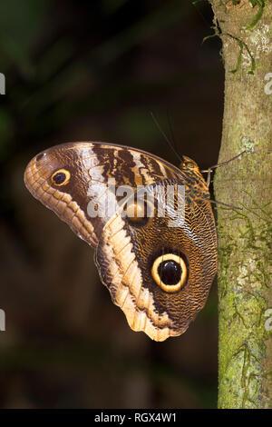 Caligo Illioneus illioneus, die riesigen Eule Schmetterling in Costa Rica ist - Stockfoto