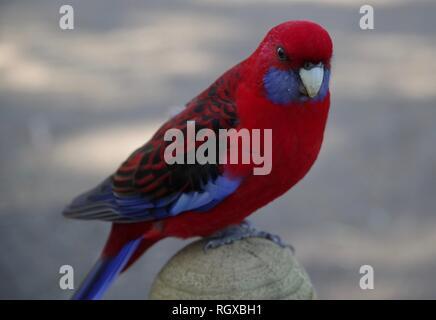 Australische rote und blaue Vogel, farbigen Vogel, (Kelson brennt) - Stockfoto