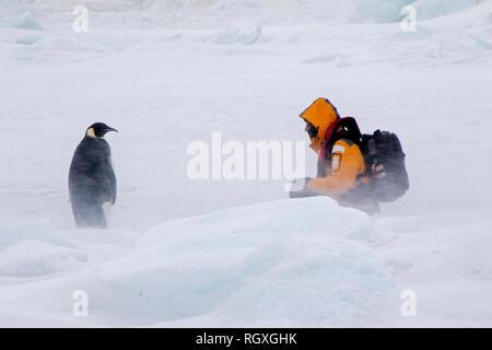 Neugierig Kaiserpinguine (Aptenodytes forsteri) starrte auf ein menschlicher Besucher auf Snow Hill Island in der Antarktis - Stockfoto