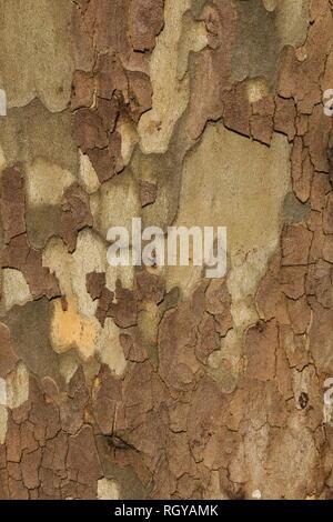 Detail der Rinde in Platane. Hintergrund Textur muster. - Stockfoto