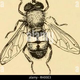 """. Bulletin. Geographie. N/-/^. 270 271 Abb. 270.- eine große Räuber-fly {DasylUs sp.); natürliche Größe (von Williston nach Kellogg). Abb. 271.- eine syrphus Fliegen {Eristalls Tenax); ich mal natürliche Größe (von Williston nach Kellogg). cherry Ist das Lebensmittel, das Werk der """"Spanischen Fliege"""" {Epicuata) und den Colorado Kartoffel- Käfer. Auf der Thistle Wir finden die Larven der cos-mopolitan und bemalt - dame Schmetterlinge (Pyrameis huntera Fab. und cardui Lin.). Eine der charakteristischen Bugs ist der 4-gesäumt. Bitte beachten Sie, dass diese Bilder aus gescannten Seite Bilder, digitale wurden extrahiert werden - Stockfoto"""