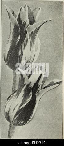 . Lampen & Amp; Samen: Herbst 1929. Samen Kataloge; Glühlampen (Pflanzen) Kataloge; Gemüse Samen Kataloge. D. M. FÄHRE &Amp; CO., Detroit, Mich, spät blühende Tulpen Unter dieser Rubrik sind die Cottage oder Mai blühen, die Darwin, der Züchter, der Rembrandt und der Papagei Tulpen eingestuft. Alle sind außergewöhnlich wünschenswert für Garten Dekoration und mit der möglichen Ausnahme der Papageien sind unübertroffen als Schnittblume für Vasen oder Körbe. Jedes Jahr hat eine gut verdienten Anstieg in ihrer Popularität gezeigt und empfehlen wir vorbehaltlos die Anpflanzung von ihnen, vor allem aus der Türen. Alle spät Blühende