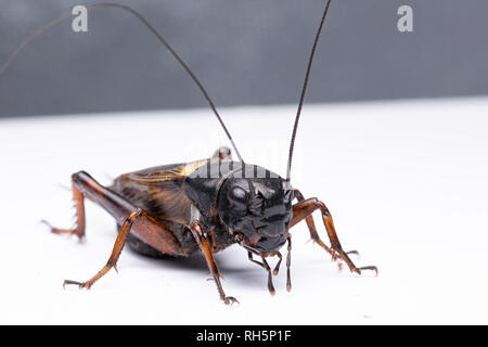 Brasilianische Kricket in der Nähe. Ruhe Insekt. - Stockfoto