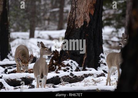 White-tailed Buck zwei jagen sich während der Paarungszeit im Herbst. Yaak Tal in den Purcell Mountains im Nordwesten von Montana. - Stockfoto