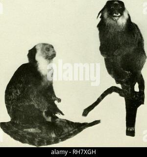 . Das Gehirn vom Affen zum Menschen; ein Beitrag zur Untersuchung der Entwicklung und der Entwicklung des menschlichen Gehirns. Gehirn; Evolution; Pongidae. 154 DIE UNTEREN PRIMATEN freimütige ieatures der simian Stämme. Diese relativ große Familie von der Neuen Welt Primaten, jedoch wegen der Konvergenzen und Divergenzen innerhalb dieser Ordnung der Säugetiere, sollte es sich leisten, interessante Belege in der Struktur der. Höflichkeit, AmeTtcan Museum für Naturkunde Feigen. 67 und 68. CALLITHRIX jaccus geführt (KRALLENAFFEN). Sein zentrales Nervensystem und besonders in den Bram. Die Art der hier beschriebenen Callithrix jaccus geführt. T - Stockfoto