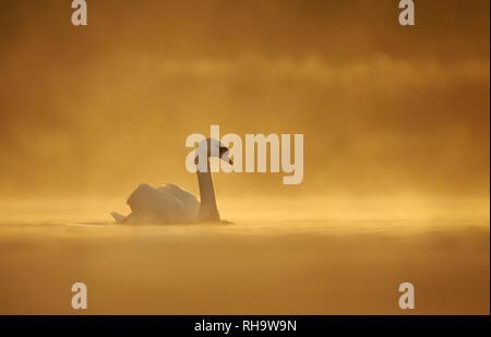 Silhouette der Höckerschwan (Cygnus olor) in Wasser auf einem goldenen misty morning. - Stockfoto