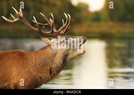In der Nähe des Red Deer stag Gebrüll in der Nähe des Teiches, UK. - Stockfoto